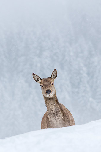 WLD 13 KH0053 01 © Kimball Stock Portrait Of Red Deer Doe In Snowy Mountains Germany
