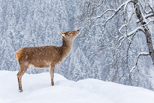 WLD 13 KH0054 01 © Kimball Stock Portrait Of Red Deer Doe Standing In Snowy Mountains Germany
