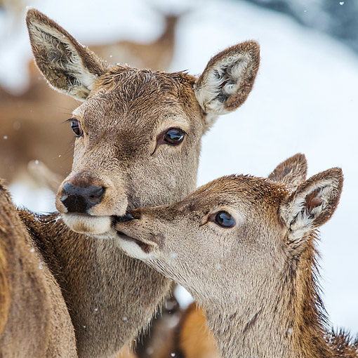 WLD 13 KH0055 01 © Kimball Stock Portrait Of Red Deer Doe And Fawn Nuzzling In Early Winter Germandy
