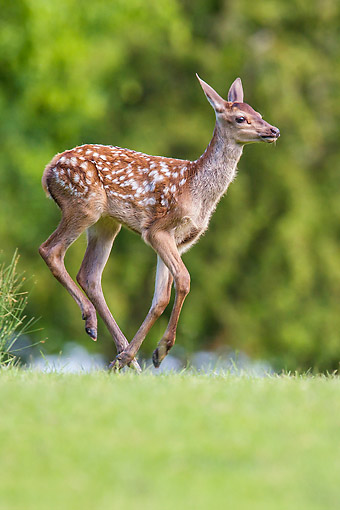 WLD 13 KH0056 01 © Kimball Stock Red Deer Fawn Running In Meadow In Summer, France