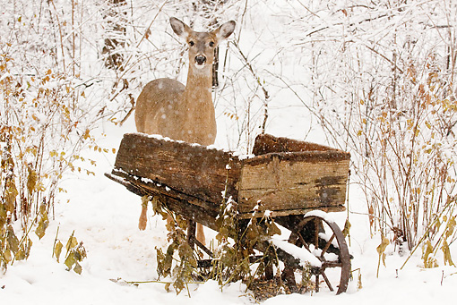 WLD 13 LS0002 01 © Kimball Stock White-Tailed Deer Standing In Snow By Wooden Wheelbarrow