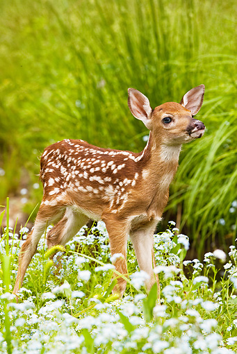 WLD 13 MC0001 01 © Kimball Stock Whitetail Deer Fawn Standing In Field With Wildflowers