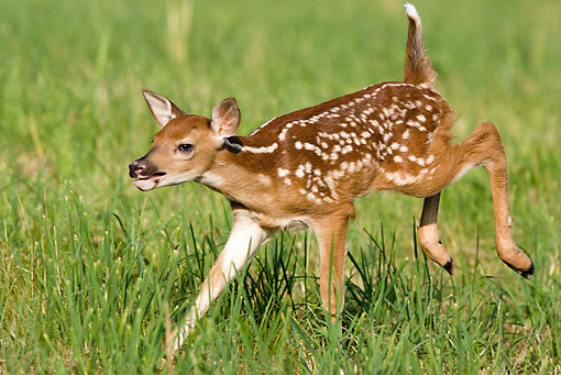WLD 13 MC0004 01 © Kimball Stock White-Tailed Deer Fawn Playing In Grass