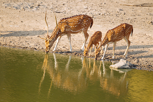 WLD 13 MC0005 01 © Kimball Stock Family Of Chital Drinking Water Bandhavgarh National Park In Madhya Pradesh, India