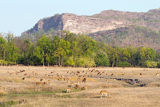 WLD 13 MC0007 01 © Kimball Stock Herd Of Chital Grazing Bandhavgarh National Park In Madhya Pradesh, India