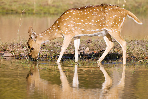 WLD 13 MC0009 01 © Kimball Stock Chital Deer Drinking At Watering Hole In Bandhavgarh National Park, India