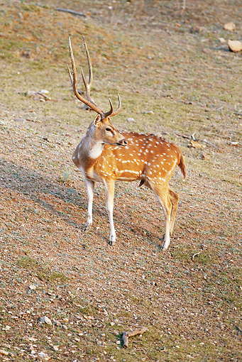 WLD 13 MC0011 01 © Kimball Stock Chital Buck Standing On Hill In Pench National Park, Madhya Pradesh, India