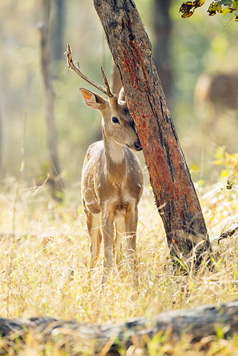 WLD 13 MC0012 01 © Kimball Stock Chital Buck Rubbing Head On Tree Trunk In Pench National Park, Madhya Pradesh, India