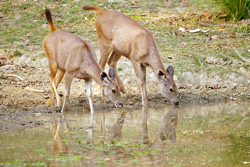 WLD 13 MC0013 01 © Kimball Stock Two Sambar Does Drinking Water In Kanha National Park, Madhya Pradesh, India