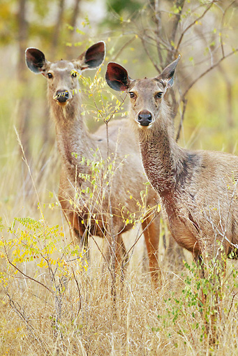 WLD 13 MC0014 01 © Kimball Stock Two Sambar Does Standing In Meadow In Satpura National Park, Madhya Pradesh, India