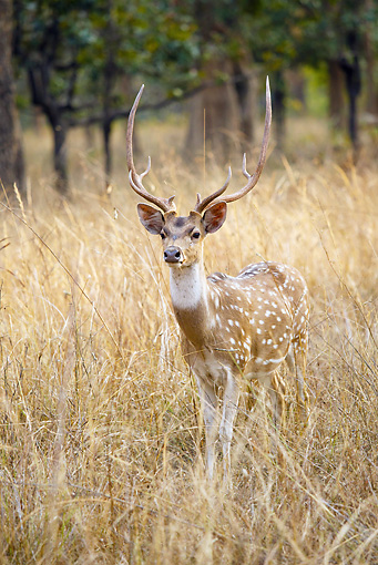 WLD 13 MC0015 01 © Kimball Stock Chital Buck Grazing In Bandhavgarh National Park, India