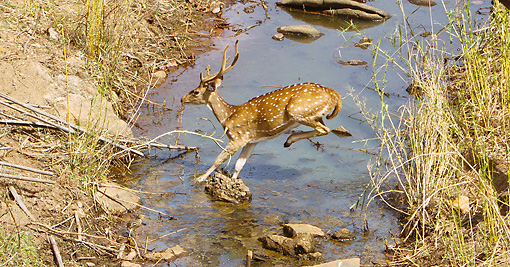 WLD 13 MC0016 01 © Kimball Stock Chital Buck Jumping Over Stream In Kanha National Park, India
