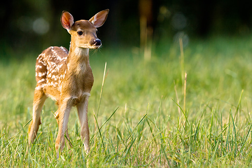 WLD 13 MC0017 01 © Kimball Stock White-Tailed Deer Fawn Standing In Field Central Pennsylvania