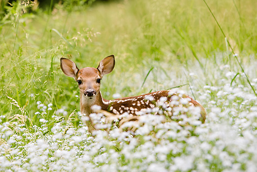 WLD 13 MC0018 01 © Kimball Stock White-Tailed Deer Fawn Standing In Wildflowers Central Pennsylvania