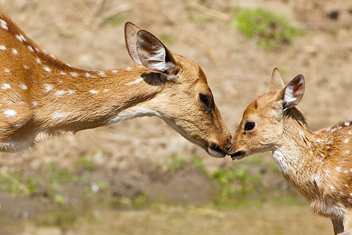 WLD 13 MC0019 01 © Kimball Stock Chital Mother And Fawn Nuzzling In Kanha National Park, India