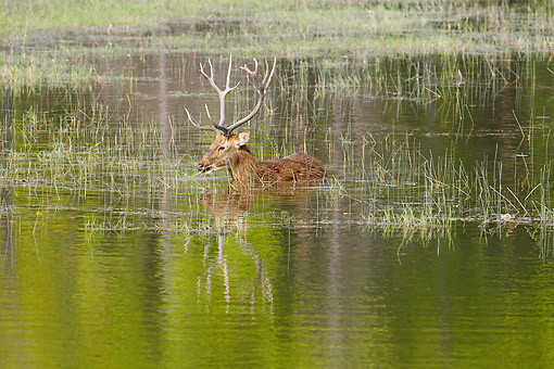 WLD 13 MC0020 01 © Kimball Stock Barasingha Walking Through Swamp In Kanha National Park, Madhya Pradesh, India
