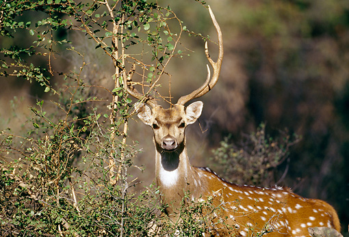 WLD 13 MH0001 01 © Kimball Stock Spotted Deer Buck Standing Alert In Brush India