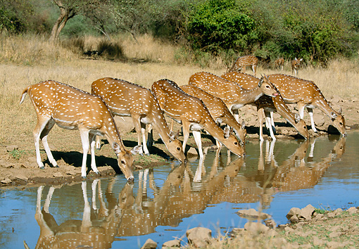 WLD 13 MH0002 01 © Kimball Stock Group Of Spotted Deer Does Drinking Water India