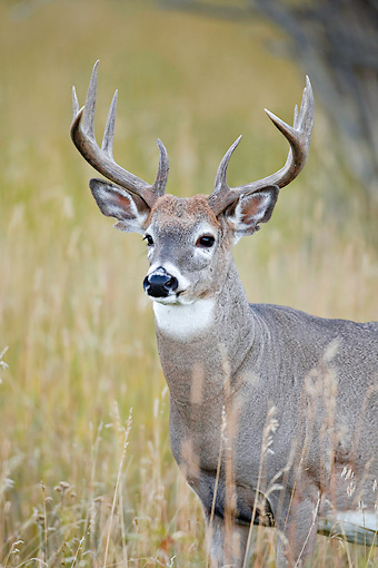 WLD 13 RF0057 01 © Kimball Stock Close-Up Of White-Tailed Deer Buck Standing In Field