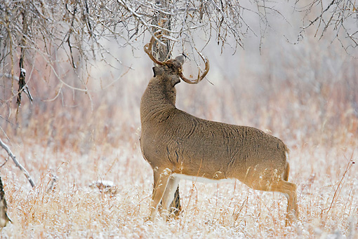WLD 13 RF0060 01 © Kimball Stock White-Tailed Deer Buck Standing Browsing Tree Twigs