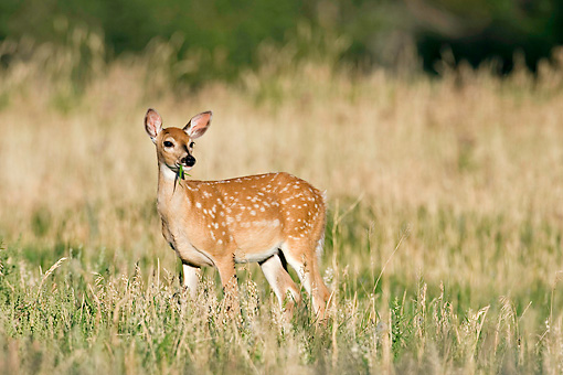 WLD 13 RF0062 01 © Kimball Stock White-Tailed Deer Fawn Grazing In Field