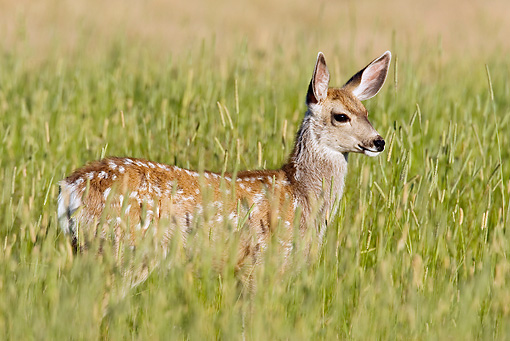 WLD 13 RF0063 01 © Kimball Stock Mule Deer Fawn Standing In Field