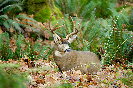 WLD 13 TL0025 01 © Kimball Stock Black-Tailed Deer Buck Laying In Fallen Leaves In Forest