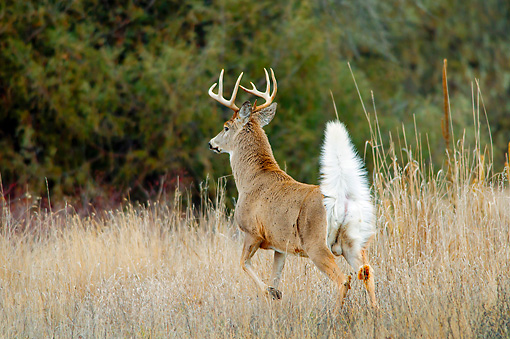 WLD 13 TL0026 01 © Kimball Stock White-Tailed Deer Buck Signaling To Others About Intruder With Tail