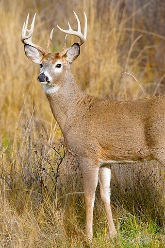 WLD 13 TL0028 01 © Kimball Stock Portrait Of White-Tailed Deer Buck Standing In Meadow In Late Autumn