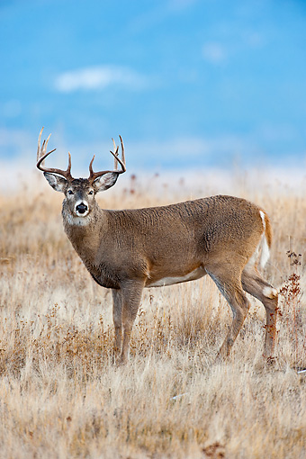WLD 13 TL0031 01 © Kimball Stock White-Tailed Deer Buck Standing In Meadow In Late Autumn