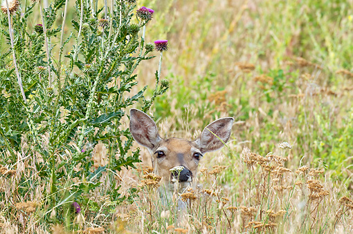 WLD 13 TL0032 01 © Kimball Stock White-Tailed Deer Doe In Summer Meadow