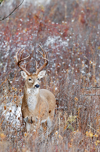 WLD 13 TL0035 01 © Kimball Stock White-Tailed Deer Buck Standing In Autumn Meadow