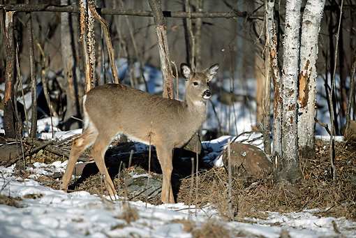 WLD 13 WF0001 01 © Kimball Stock White-Tailed Deer Doe Standing In Snow
