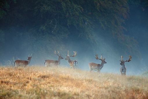 WLD 13 WF0002 01 © Kimball Stock Fallow Deer Stag In Early Morning Mist