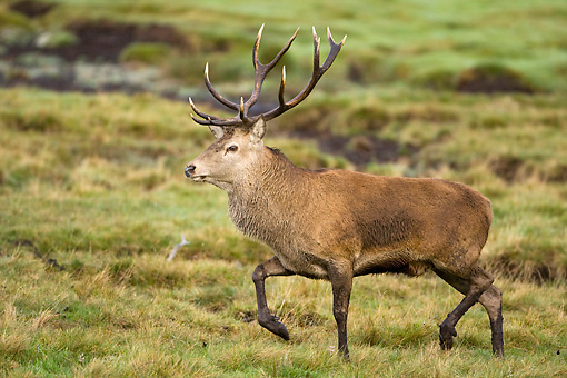 WLD 13 WF0010 01 © Kimball Stock Red Deer Stag Walking On Grass During Autumn Rut
