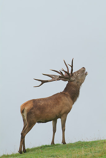 WLD 13 WF0012 01 © Kimball Stock Red Deer Stag Standing On Grass Bellowing In Rut