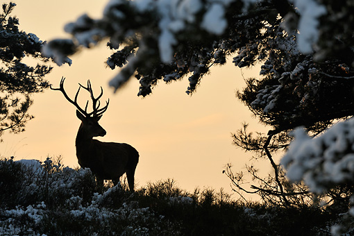 WLD 13 WF0018 01 © Kimball Stock Silhouette Of Red Deer Stag Standing In Snow-Covered Meadow