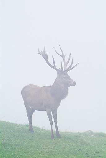 WLD 13 WF0021 01 © Kimball Stock Red Deer Stag Standing On Meadow In Mist