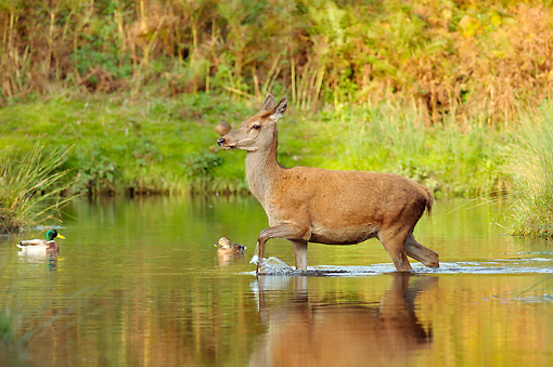 WLD 13 WF0024 01 © Kimball Stock Red Deer Female Crossing River In Autumn Rut