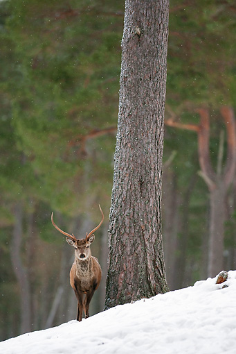 WLD 13 WF0027 01 © Kimball Stock Red Deer Stag Standing In Pine Forest In Winter