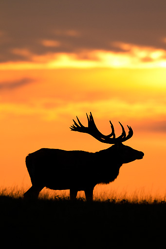 WLD 13 WF0031 01 © Kimball Stock Silhouette Of Red Deer Stag Standing In Meadow At Sunset