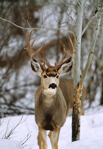 WLD 13 DB0004 01 © Kimball Stock Mule Deer Buck Standing In Snow