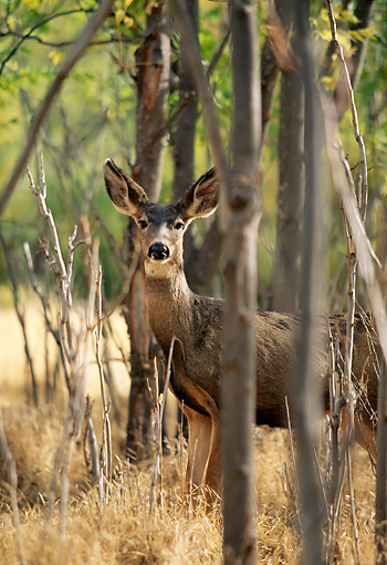 WLD 13 DB0007 01 © Kimball Stock Mule Deer Doe Standing In Forest In Autumn