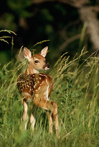 WLD 13 DB0009 01 © Kimball Stock White-tailed Deer Fawn Standing In Field In Summer
