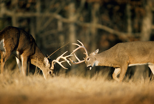 WLD 13 DB0011 01 © Kimball Stock White-tailed Deer Bucks Fighting During Rut