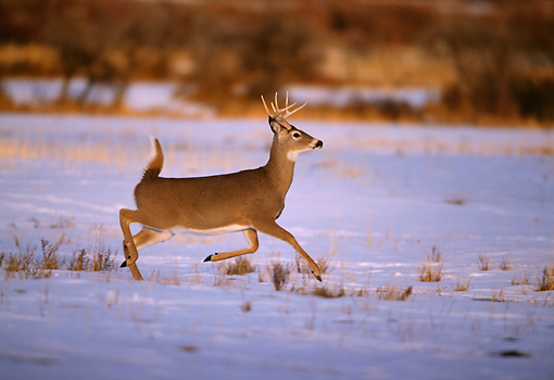 WLD 13 DB0019 01 © Kimball Stock Profile Of White-tailed Deer Buck Running Across Field With Snow