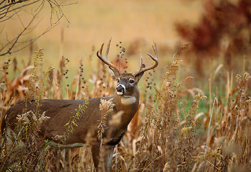 WLD 13 DB0028 01 © Kimball Stock Profile Of White-tailed Deer Buck Standing In Field In Autumn