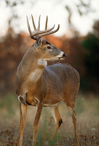 WLD 13 DB0030 01 © Kimball Stock White-tailed Deer Buck Standing In Field Near Woods In Autumn