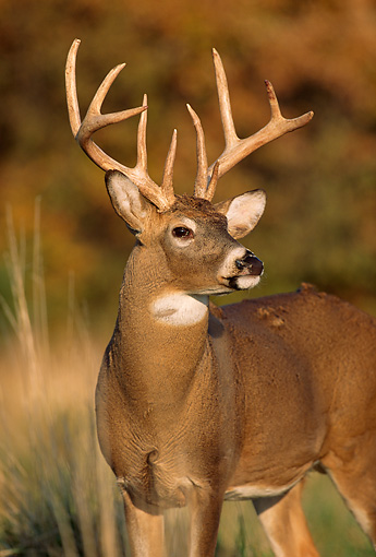 WLD 13 DB0032 01 © Kimball Stock Portrait Of White-tailed Deer Buck Standing In Field In Autumn