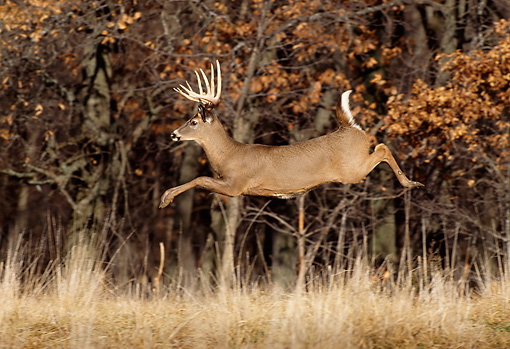 WLD 13 DB0035 01 © Kimball Stock Profile Of White-tailed Deer Buck Running In Field At Edge Of Woods In Autumn